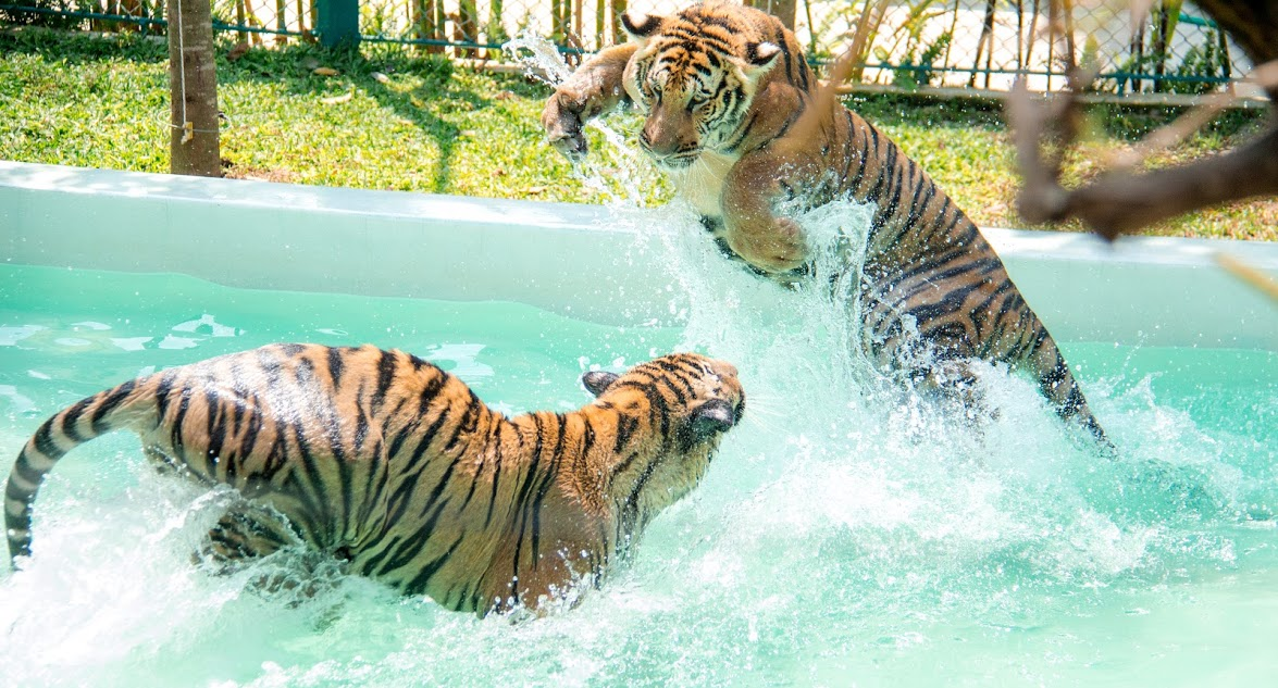 Tiger Park Pattaya with Ticket Only
